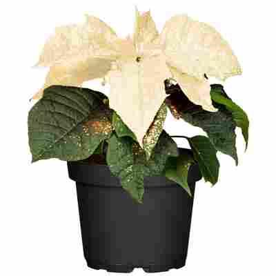 Fairtrade Weihnachtsstern weiß mit Glitter 13 cm Topf