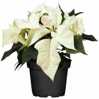 Fairtrade Weihnachtsstern weiß 10,5 cm Topf