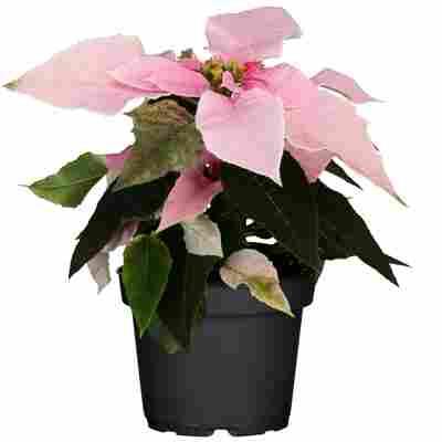 Fairtrade Weihnachtsstern rosa 10,5 cm Topf