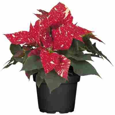 Fairtrade Weihnachtsstern rot mit weißen Sprenkeln 10,5 cm Topf