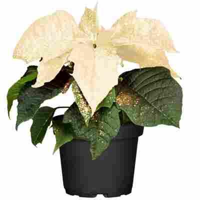 Fairtrade Weihnachtsstern weiß mit Glitter 10,5 cm Topf