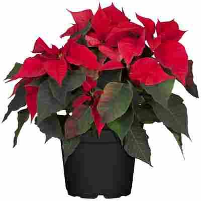 Fairtrade Weihnachtsstern Busch rot 15 cm Topf