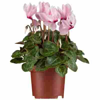 Alpenveilchen rosa 13 cm Topf 2er Set