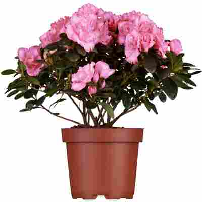 Zimmer-Azalee rosa 13 cm Topf