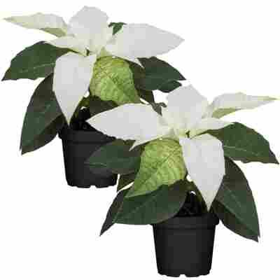 Fairtrade Weihnachtsstern weiß 7 cm Topf, 2er-Set