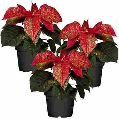 Fairtrade Weihnachtsstern rot mit Glitter 7 cm Topf, 3er-Set