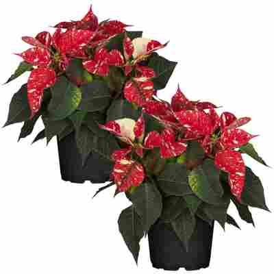 Fairtrade Weihnachtsstern rot mit weißen Sprenkeln 13 cm Topf, 2er-Set