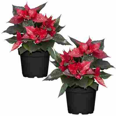 Fairtrade Weihnachtsstern rot mit Glitter 13 cm Topf, 2er-Set