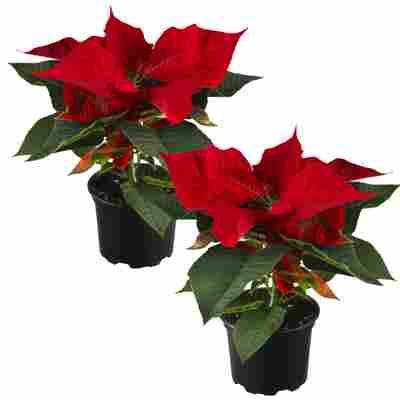 Fairtrade Weihnachtsstern rot 10,5 cm Topf, 2er-Set