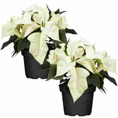 Fairtrade Weihnachtsstern weiß 10,5 cm Topf, 2er-Set