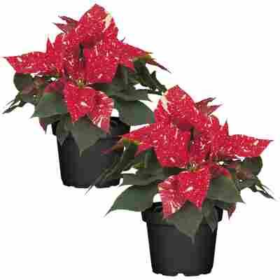 Fairtrade Weihnachtsstern rot mit weißen Sprenkeln 10,5 cm Topf, 2er-Set