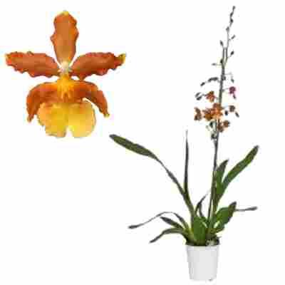 Cambria Orchidee 'Cantate' 1 Rispe orange, 12 cm Topf