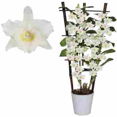 Dendrobium-Orchidee 'Apollon' 2 Rispen am Spalier weiß 12 cm Topf