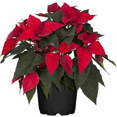 Fairtrade Weihnachtsstern Busch rot 23 cm Topf