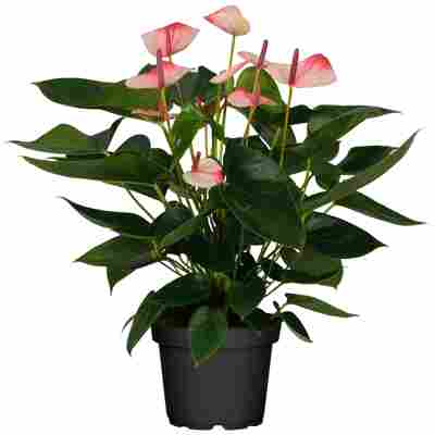 Flamingoblume 'Mystique' weiß-rosa 14 cm Topf
