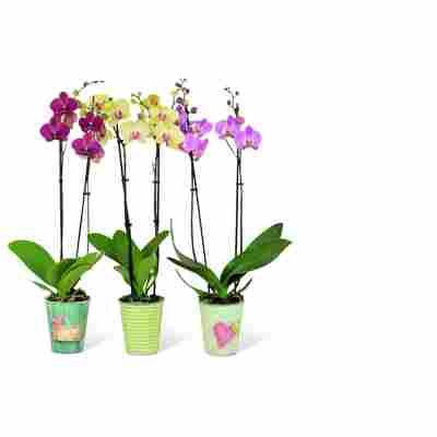 Schmetterlingsorchidee inkl. Übertopf