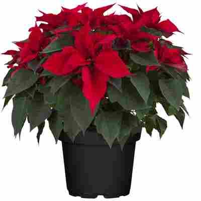 Fairtrade Weihnachtsstern Busch rot 26 cm Topf