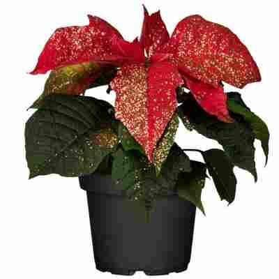 Fairtrade Weihnachtsstern rot mit Glitter 7 cm Topf