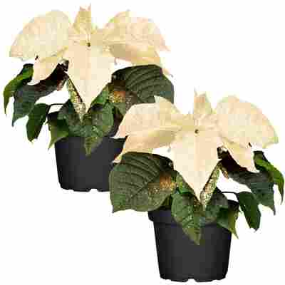Fairtrade Weihnachtsstern weiß mit Glitter 10,5 cm Topf, 2er-Set