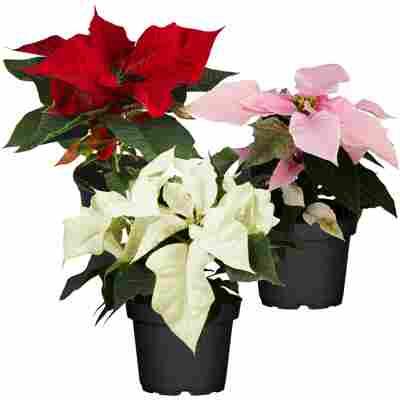 Weihnachtsstern Farbmix 10,5 cm, 3er-Set