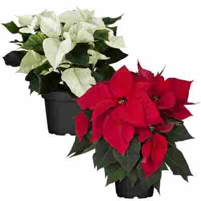 Weihnachtsstern Farbmix 13 cm, 2er-Set