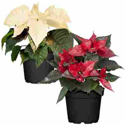 Weihnachtsstern Farbmix mit Glitter 13 cm, 2er-Set
