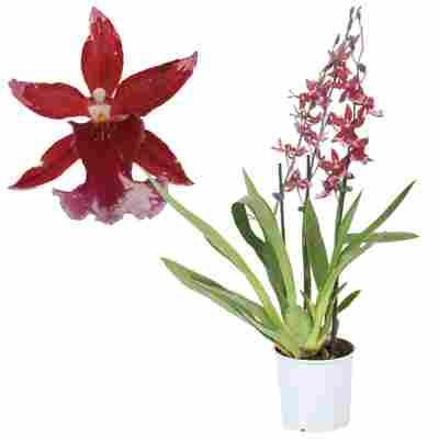 Cambria-Orchidee 'Barocco Red' 3 Rispen rot 12 cm Topf