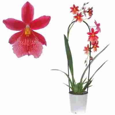 Cambria-Orchidee 'Nelly isler' 1 Rispe rot, 12 cm Topf