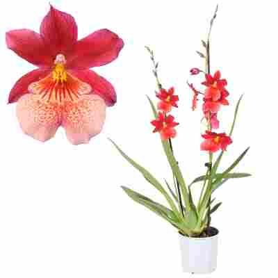 Cambria-Orchidee 'Nelly Isler' 2 Rispen rot 12 cm Topf