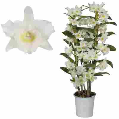 Dendrobium-Orchidee 'Apollon' 2 Rispen weiß 12 cm Topf