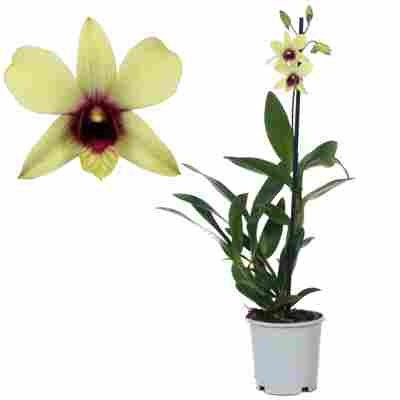 Dendrobium-Orchidee 'Ban Chocolat' 1 Rispe grün/violett 11 cm Topf