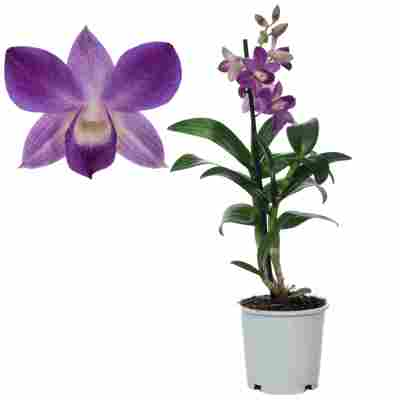 Dendrobium-Orchidee 'Blue Happiness' 1 Rispe blau 11 cm Topf