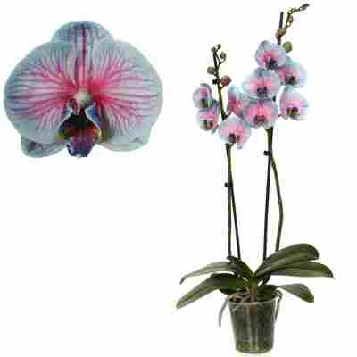 Schmetterlingsorchidee 'Royal Bubblegum' 2 Rispen blau/pink 12 cm Topf