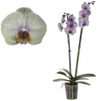 Schmetterlingsorchidee 'Royal Green' 2 Rispen grün 12 cm Topf
