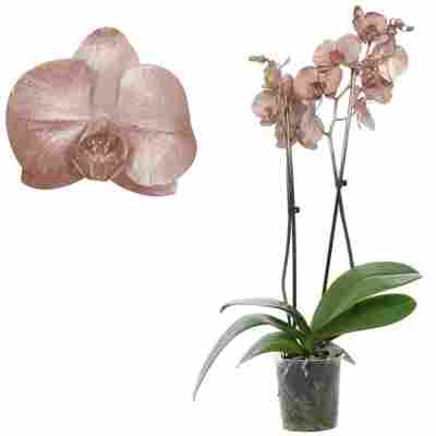 Schmetterlingsorchidee 'Royal Metallic Copper' 2 Rispen kupfer 12 cm Topf
