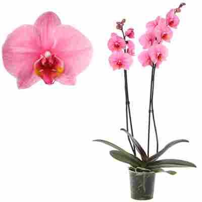Schmetterlingsorchidee 'Royal Pink' 2 Rispen pink 12 cm Topf