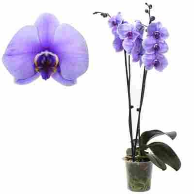 Schmetterlingsorchidee 'Royal Purple' 2 Rispen violett 12 cm Topf