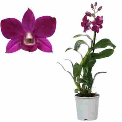 Dendrobium-Orchidee 'Purple Happiness' 1 Rispe violett 11 cm Topf