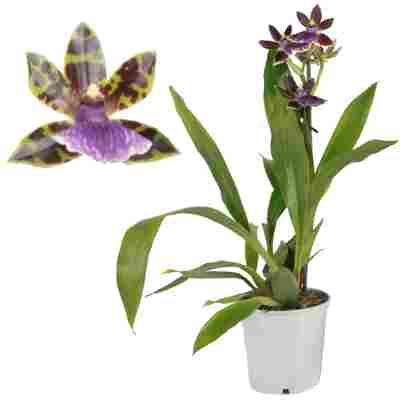 Zygopetalum-Orchidee 1 Rispe violett 12 cm Topf