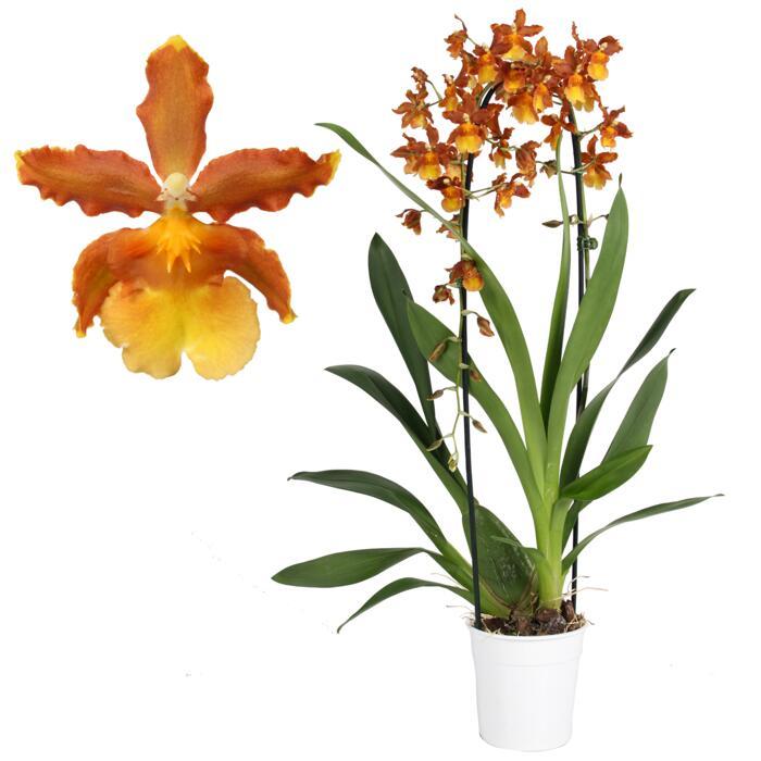 Cambria Orchidee Catatante 1 Rispe Orange 12 Cm Topf ǀ Toom Baumarkt