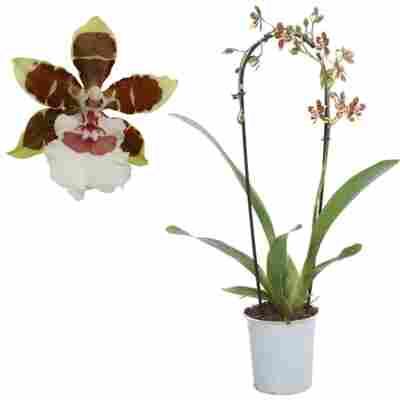 Cambria-Orchidee 'Jungle Monarch' 1 Rispe rot/weiß, 12 cm Topf