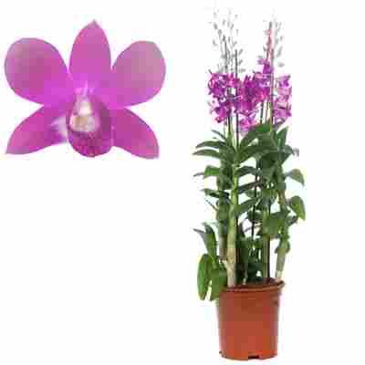 Dendrobium-Orchidee 4 Rispen pink, 21 cm Topf