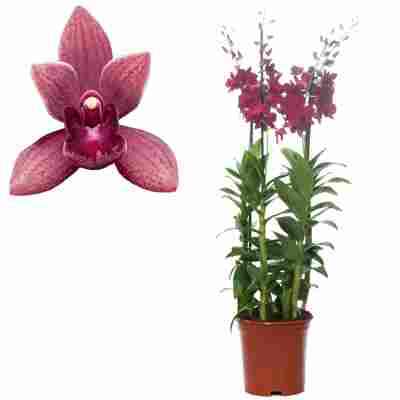 Dendrobium-Orchidee 4 Rispen violett, 21 cm Topf