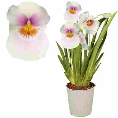 Stiefmütterchen-Orchidee 2 Rispen weiß 12 cm Topf