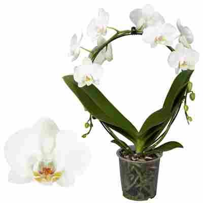Schmetterlingssorchidee 2 Rispen am Bogen weiß 12 cm Topf