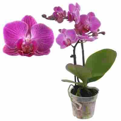 Schmetterlingsorchidee 'Lisa' 2 Rispen pink, 7 cm Topf