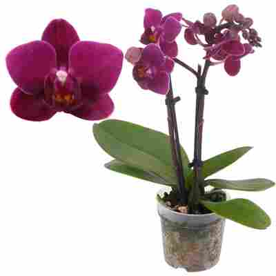 Schmetterlingsorchidee 'Emma' 2 Rispen violett, 7 cm Topf