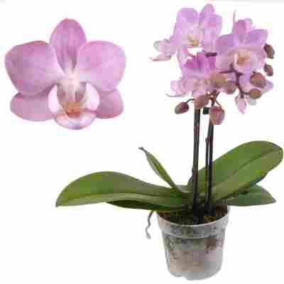 Schmetterlingsorchidee 'Lieke' 2 Rispen rosa, 7 cm Topf