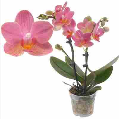 Schmetterlingsorchidee 2 Rispen 'Gwen' orange/pink, 7 cm Topf