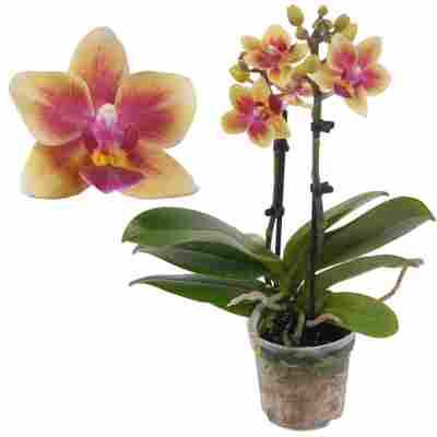 Schmetterlingsorchidee 2 Rispen 'Tess' gelb/pink 7 cm Topf